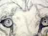 Aslans eyes-sketch (DW-016)