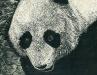 Panda (DW-023)