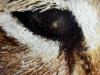 Lynx eyes (PT-007)