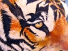 Tigers-eyes (PT-